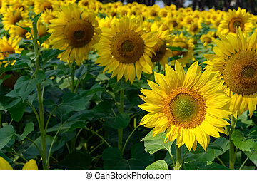 blooming sunflowers in a sunny morning