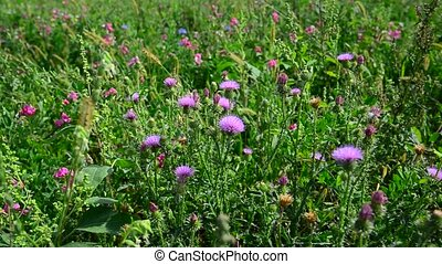 Blooming thistle waving in wind - blooming thistle waving in...