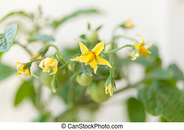 blooming tomato in spring on neutral background