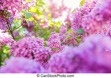 Blooming tree branches with violet lilac flowers . ...