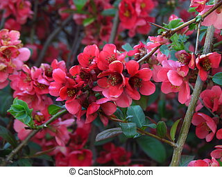 Blooming tree - Pink spring flower Cydonia oblonga, spring ...