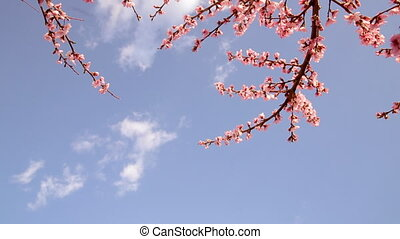 Blooming trees. - Blooming trees in spring on a sunny day.