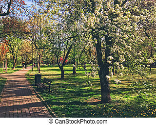 Blooming trees in spring in a city park