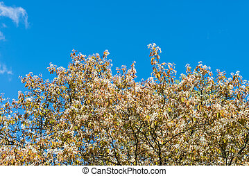 Blooming trees in springtime against blue sky with white clouds.