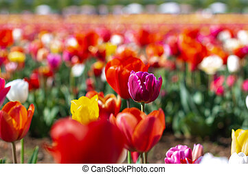 Blooming tulip fields in Netherlands, flower with blurrred colorful tulips as background. Selective focus, tulip close up