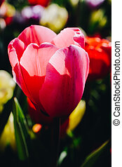 Blooming tulip flowers in spring as  floral background