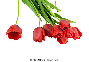 blooming tulip isolated on white background