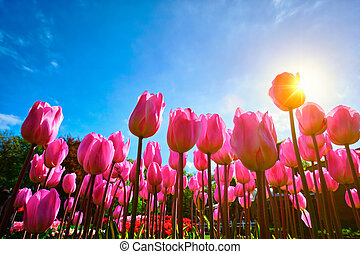 Blooming tulips against blue sky low vantage point -...