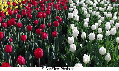 Blooming tulips - Field with blooming tulips