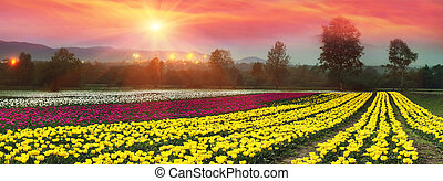 blooming tulips - Spring, summer, turning into a very...