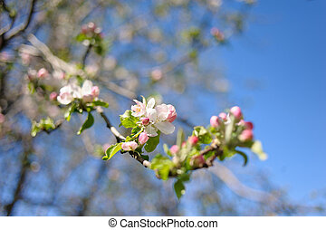 Blooming twig of apple against the blue sky.