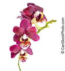 blooming twig of beautiful dark purple orchid, phalaenopsis is i