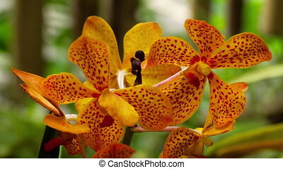 Blooming twig of tiger orchid - Beautiful stem of vibrant...