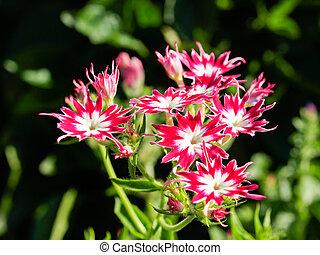 phlox - Blooming two colour drummondii phlox