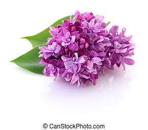 Blooming violet lilac. - Blooming violet lilac flower...