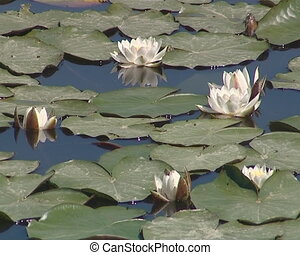 Blooming water lilies and their leaves in the lake. Water ...