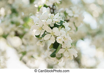 blooming white apple flowers in sunny day