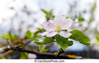 Blooming white apple tree with shallow depth of field