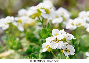 Blooming white arabis in rockery in the spring garden