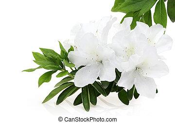 blooming white azalea flower