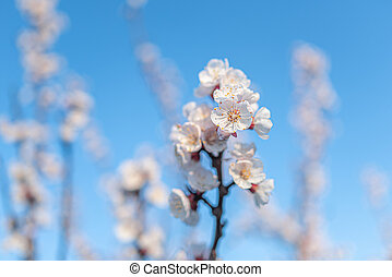 Blooming white cherry on a background of blue sky