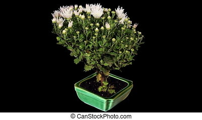 Blooming white chrysanthemum flower buds ALPHA matte, Full...