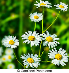 Blooming white daisies in the summer meadow