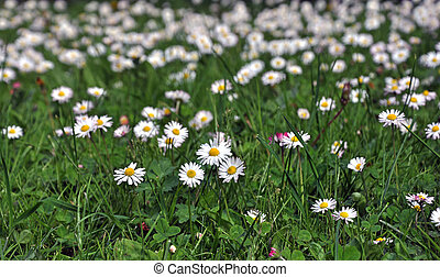 Blooming white daisies on a green meadow.