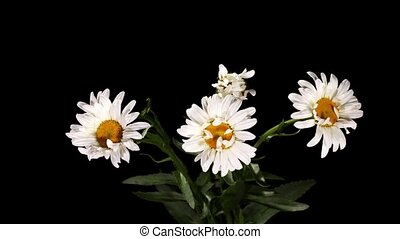 Blooming white daisies on the black