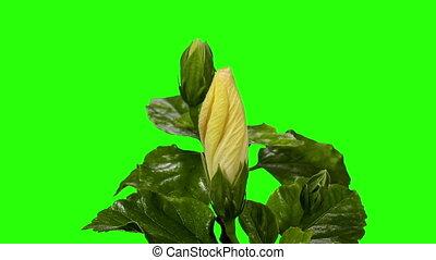 Blooming white Hibiscus flower buds green screen, FULL HD....