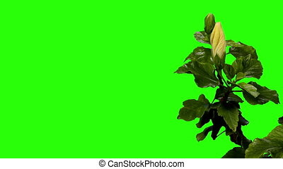 Blooming white Hibiscus flower buds green screen, FULL HD....