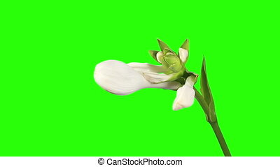 Blooming white hosta flower