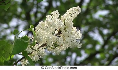 Blooming white lilac