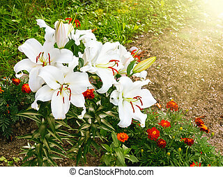 Blooming white lilies on a bed in the garden