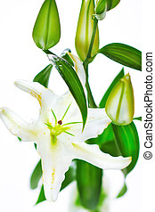 Blooming white lily closeup on white background