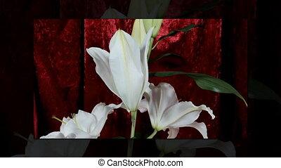 Blooming white lily flower buds (Lilium Samur), timelapse footage. Close up, macro.