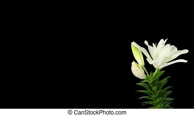Blooming white lily flower buds ALPHA matte (Lilium...