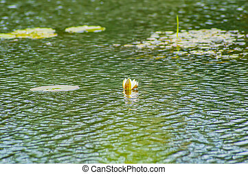 Blooming white lily flowers on the water.