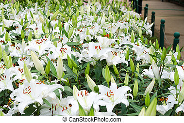 Blooming white lily in garden