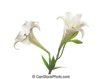 Blooming white lily on the white backgroup