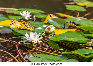 Blooming white Lily with leaves in the pond