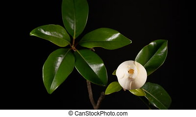 blooming white magnolia grandiflora