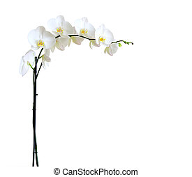 orchids - Blooming white orchids flower isolated on white...