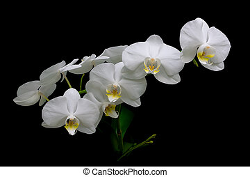 blooming white orchids on a black background closeup