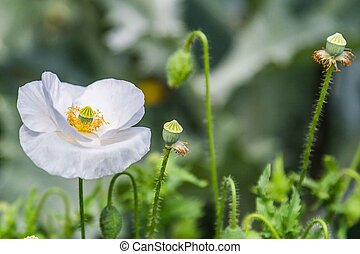 Blooming white poppies