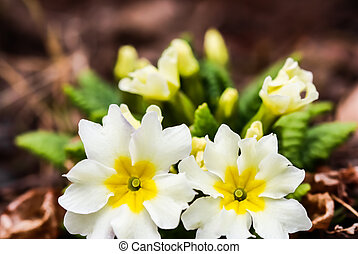 Blooming white primrose in the spring garden