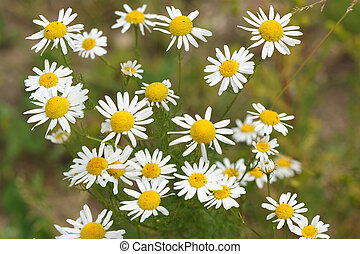 Blooming wild chamomile flowers in the field