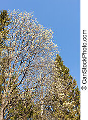 blooming willow in the spring