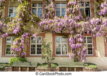 Blooming wisteria on the walls of the building