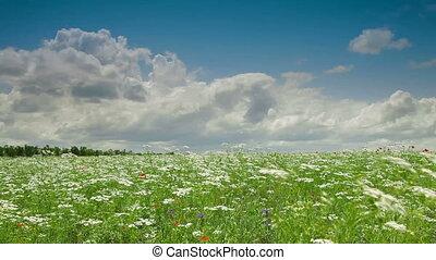 Blooming Yarrow Field